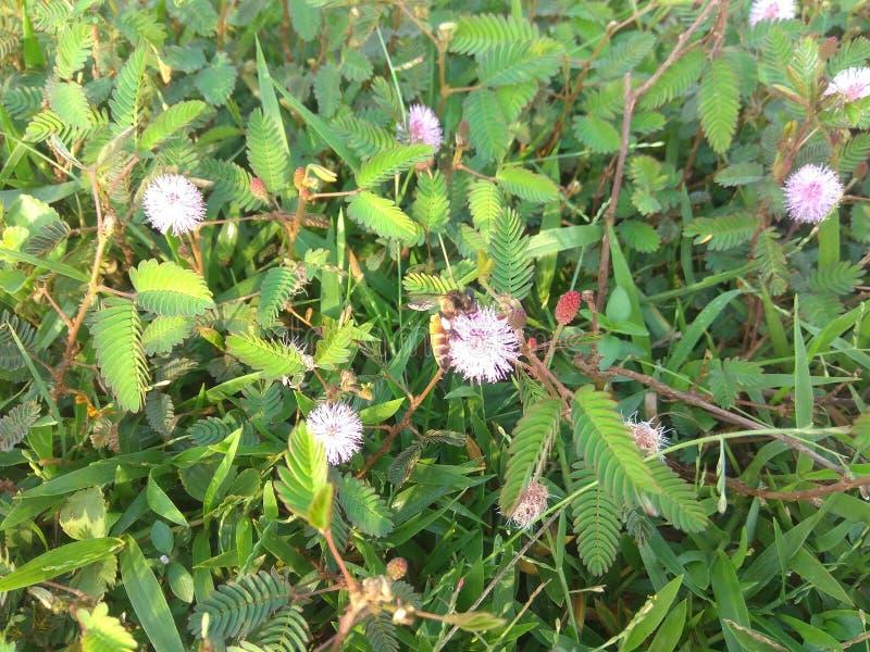 Sammeln des Honigs durch eine Biene von Mimose hamata Blume lizenzfreie stockbilder
