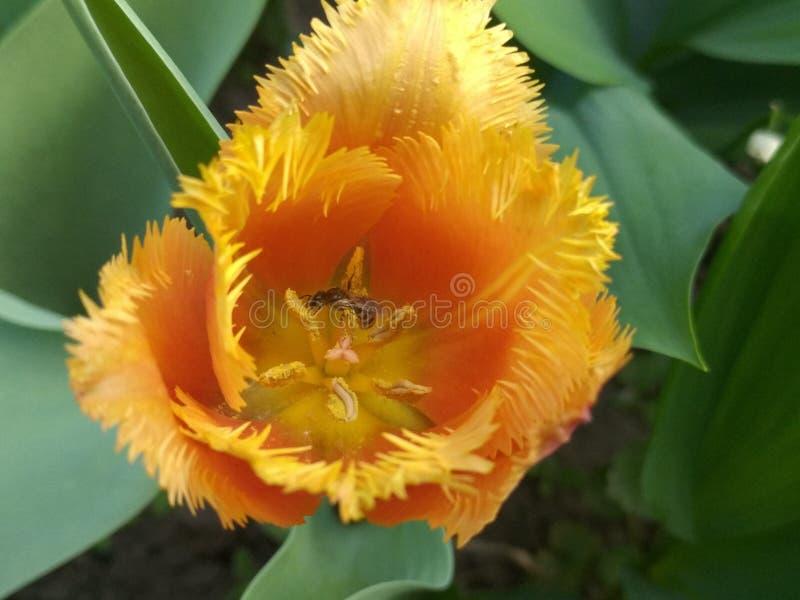 Sammeln des Nektars auf Blumen lizenzfreie stockfotos