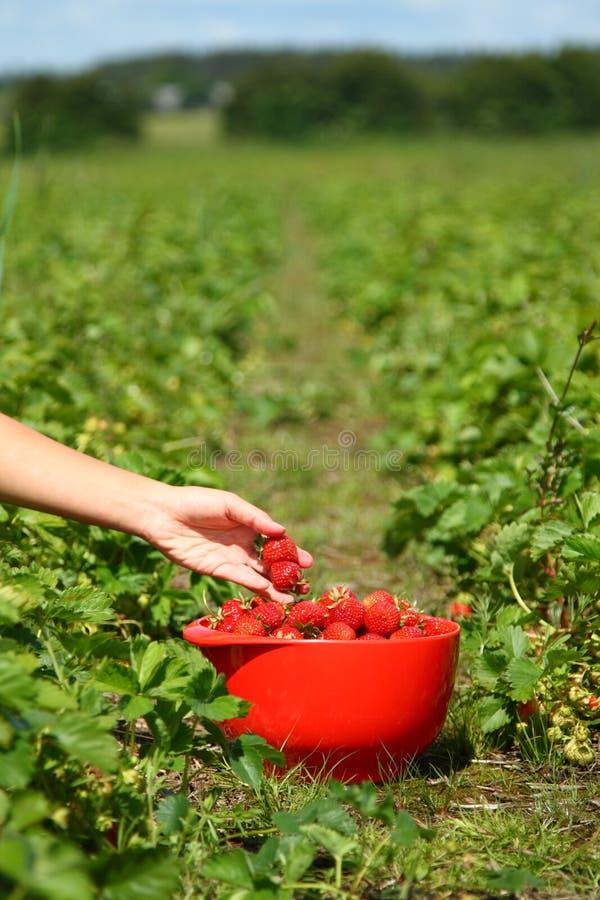 Sammeln-Erdbeeren lizenzfreie stockfotografie