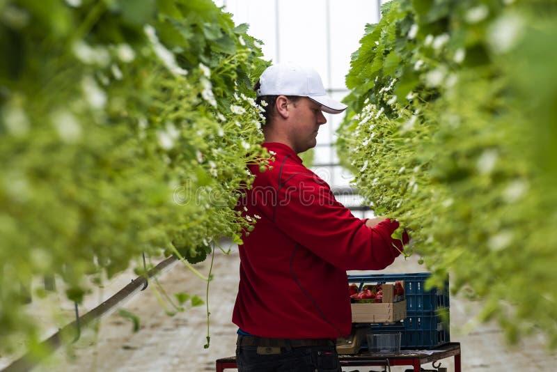 Sammeln-Erdbeeren im Glashaus lizenzfreie stockfotografie