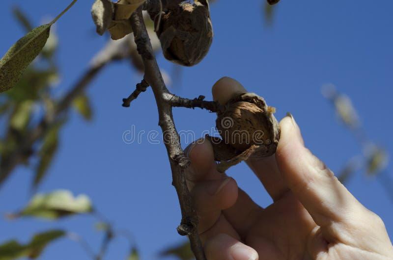 Sammeln-Mandel weg vom Baum stockfotografie