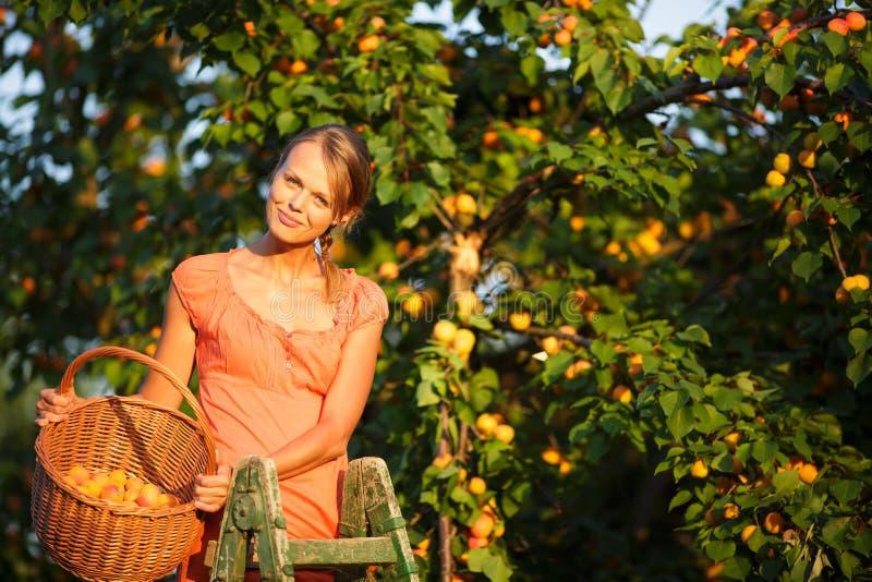 Sammelnaprikosen der hübschen, jungen Frau beleuchtet stockfotografie