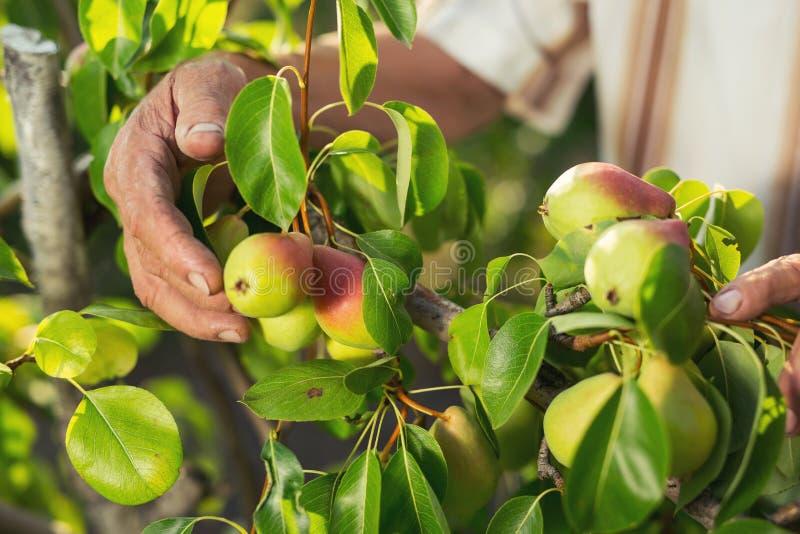 Sammelnbirnen des älteren Mannes in seinem Obstgarten stockfotos