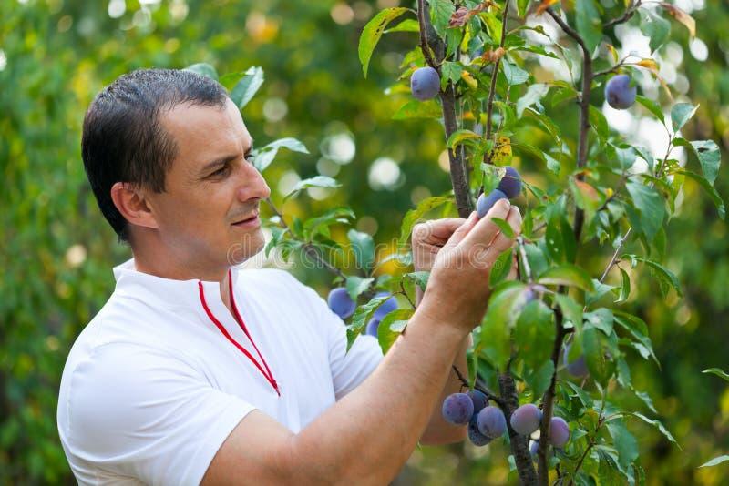 Sammelnpflaumen des jungen Mannes vom Baum stockbild
