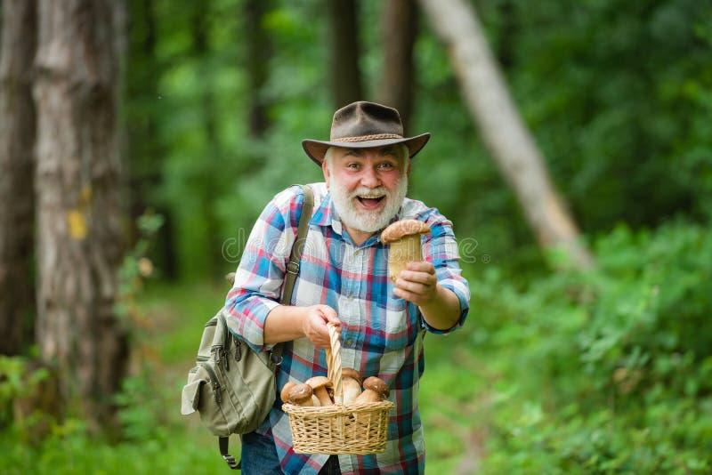 Sammelnpilze Glücklicher Großvater mit Pilzen im busket, das Pilz jagt Pilzkopfbildung in Natur lizenzfreies stockfoto
