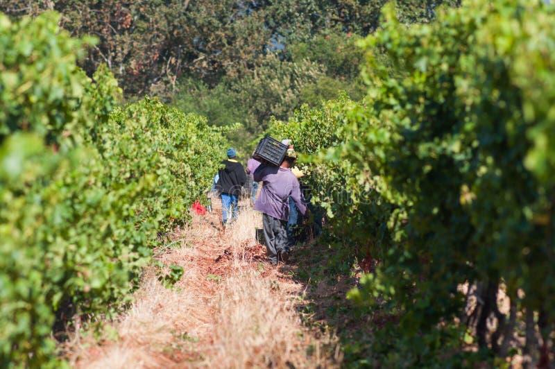 Sammelntrauben, Stellenbosch, Südafrika lizenzfreie stockfotos