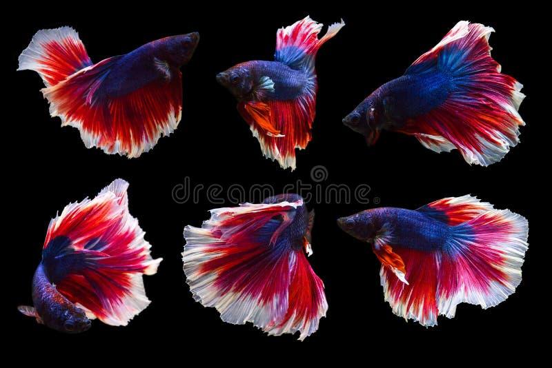 Sammlung betta Fische lokalisiert auf dem schwarzen Hintergrund, viel acti stockbilder
