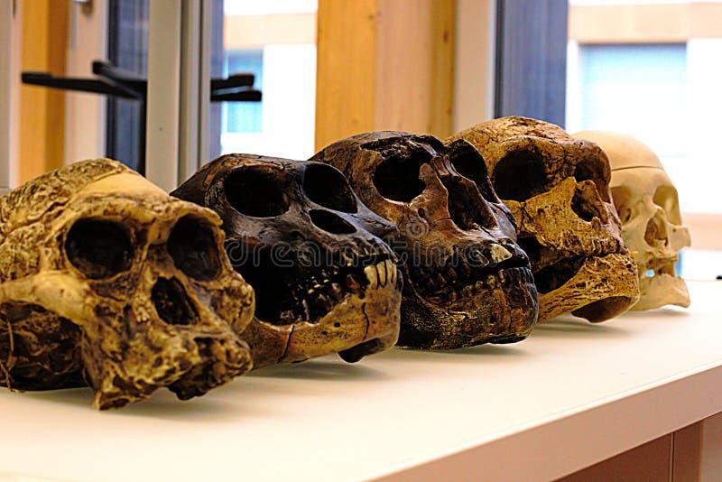 Sammlung der Schädelreplik der menschlichen Vorfahren - menschliche Entwicklung stockbild