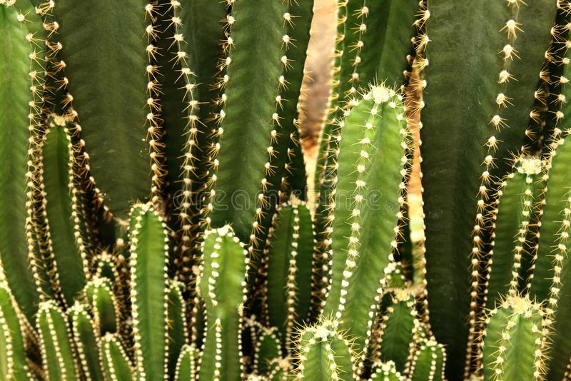 Sammlung des Kaktus oder der saftigen Grünpflanze, abstrakter natürlicher Musterhintergrund stockbilder