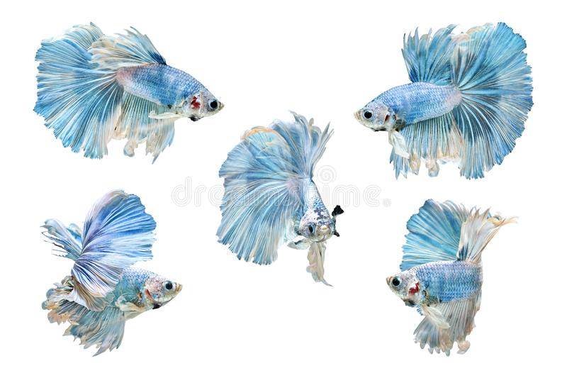Sammlung des Siamesischen Kampffisches, blaue Betta Fish auf weißem Hintergrund, Halbmond lizenzfreie stockfotos