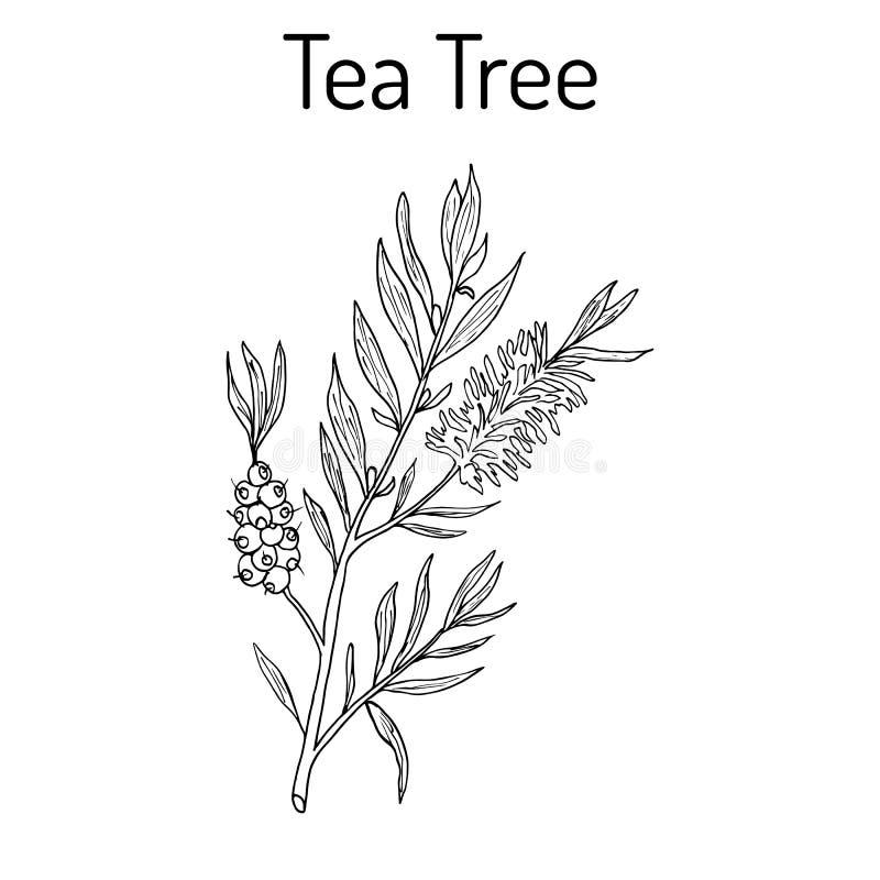 Sammlung des Teebaums Kosmetik und medizinische Anlage Hand gezeichnet stockfotografie