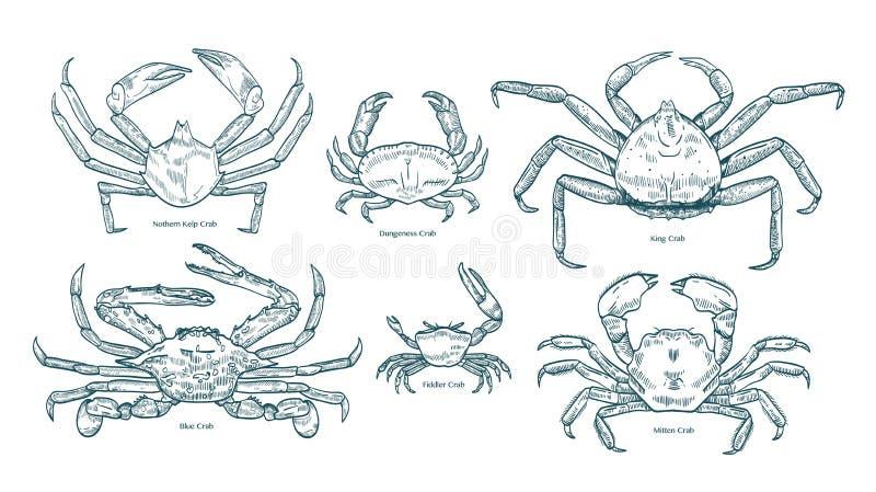 Sammlung elegante Zeichnungen von verschiedenen Arten von Krabben Bündel schöne Meerestiere oder Krebstiere übergeben gezogenes stock abbildung
