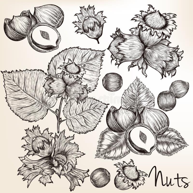Sammlung gezeichnete Nüsse des Vektors hohe ausführliche Hand in graviertem s lizenzfreie abbildung