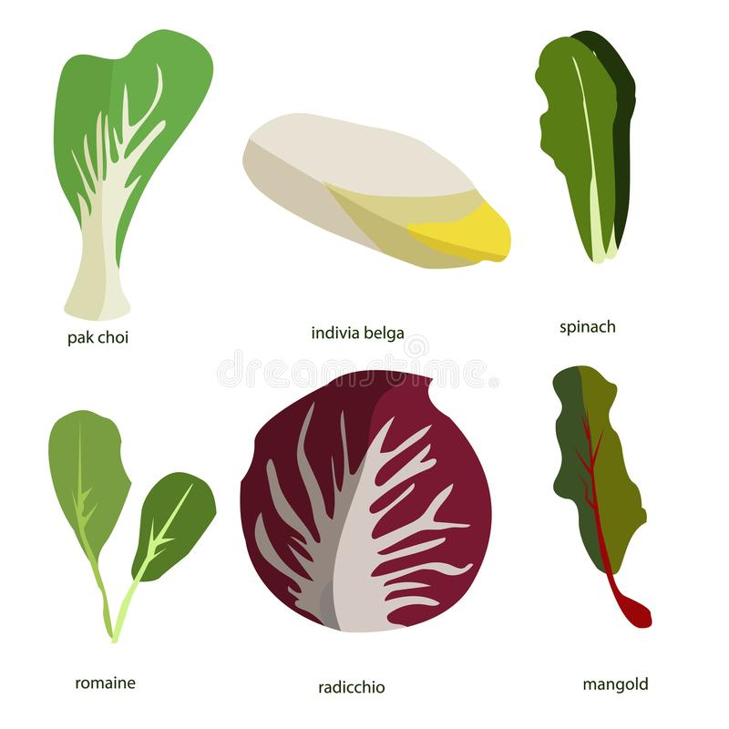 Sammlung Gr?npflanzen B?ndel geschmackvolles Gem?se und Salatbl?tter lokalisiert auf wei?em Hintergrund Köstlicher gesunder stren lizenzfreie abbildung