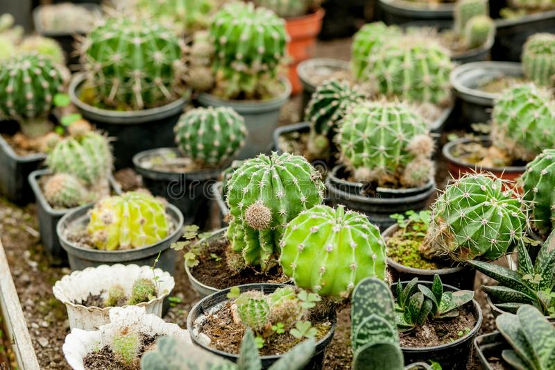 Sammlung Kaktuspflanzen in den Töpfen Kleine Zierpflanze Selektiver Fokus, Höchstansicht geschossen Kaktuspflanzemuster frech lizenzfreie stockfotos