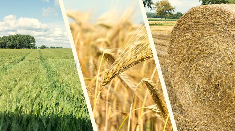 Sammlung Korn-Felder - nahe hohe Ansicht stockfoto