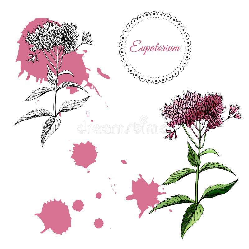 Sammlung mit einfarbiger und farbiger Skizze von einzelnen Eupatoriumblumen und von abstrakten Stellen Handgezogene Tinte und far stock abbildung