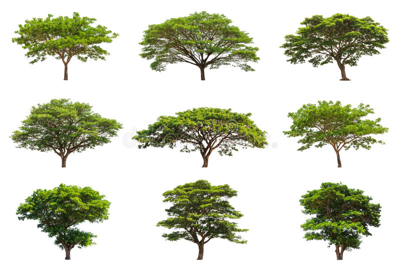 Sammlung Regenbäume (Samanea-saman) lizenzfreie stockbilder