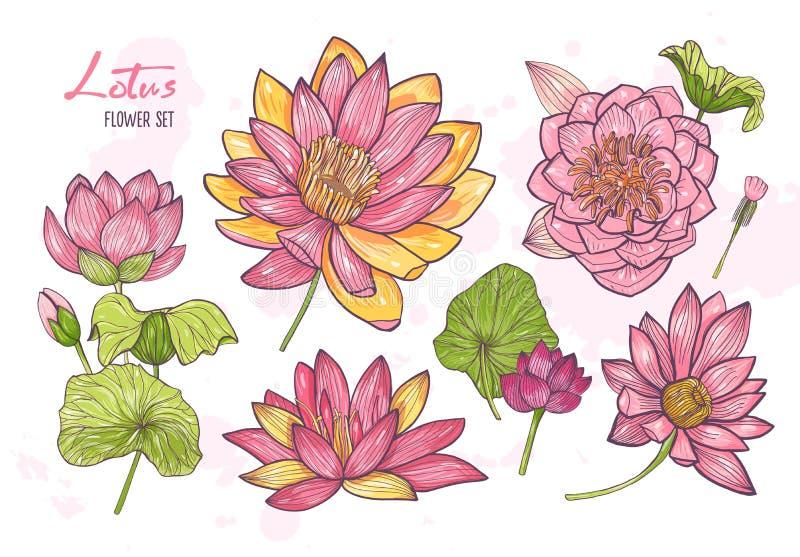Sammlung schöne ausführliche botanische Zeichnungen des blühenden Lotos Satz herrliche exotische romantische Blumen, Knospen und stock abbildung