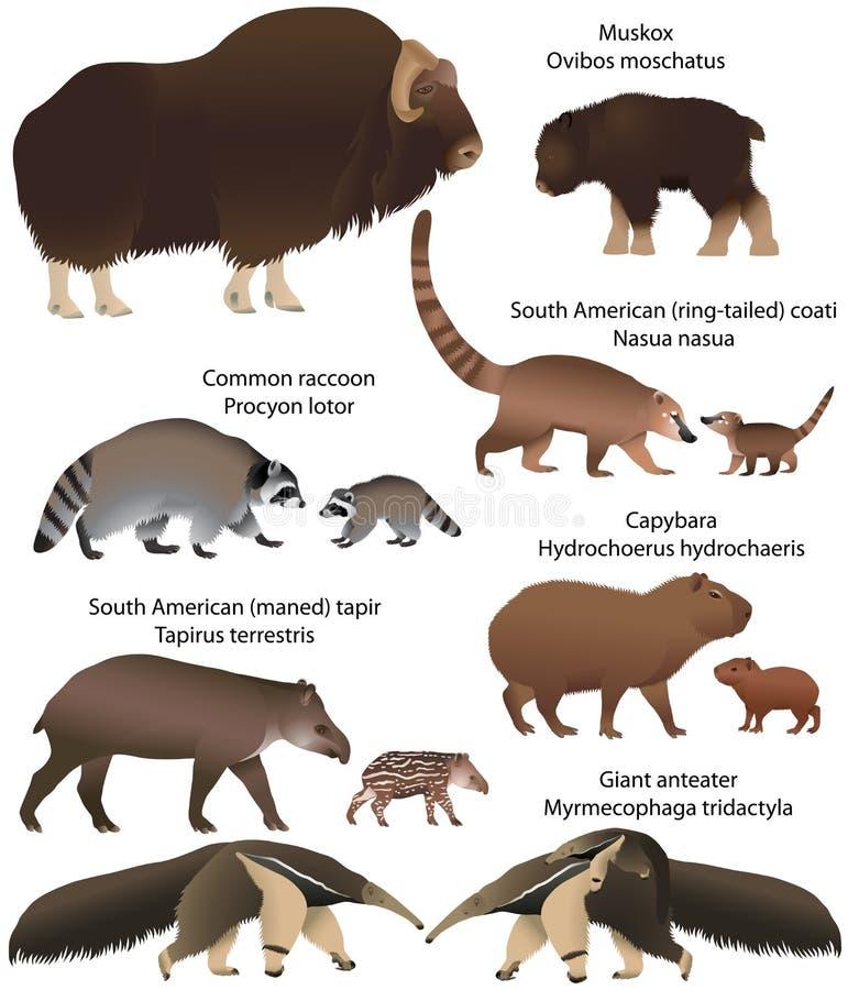 Sammlung Tiere mit den Jungen, die im Gebiet des Nordens und des Südamerikas leben: muskox, gemeiner Waschbär, südamerikanischer  lizenzfreie abbildung