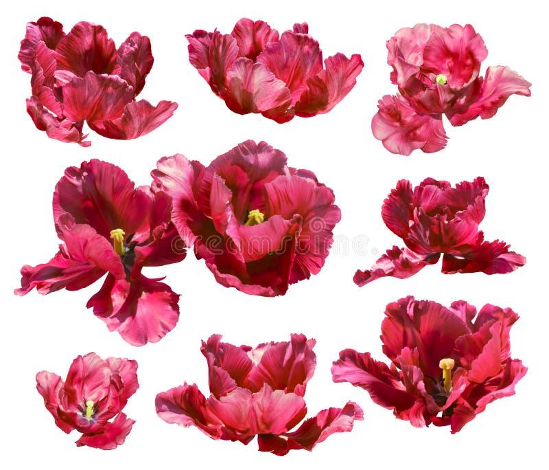 Sammlung Tulpen lokalisiert auf weißem Hintergrund. Vektorweg! lizenzfreies stockbild