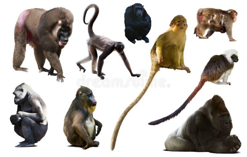 Sammlung verschiedene Affen lizenzfreies stockfoto