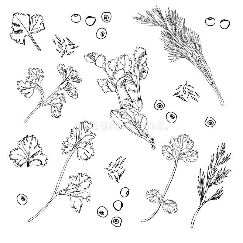 Sammlung verschiedene Kräuter und Gewürze Übergeben Sie die gezogene Tintenskizze, die auf weißem Hintergrund lokalisiert wird lizenzfreie abbildung