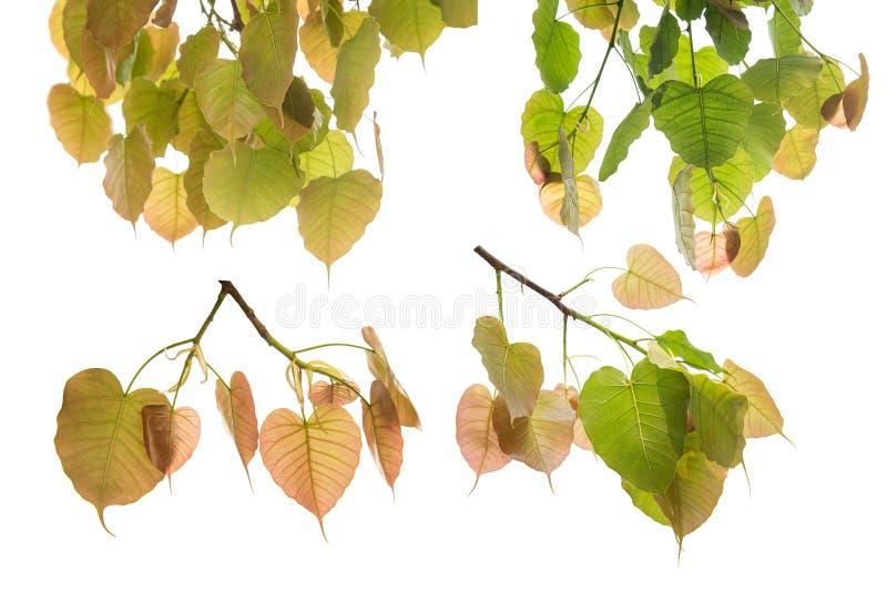 Sammlung von Bodhi-Blättern oder von Peepal-Blatt vom Bodhi-Baum lizenzfreie stockbilder