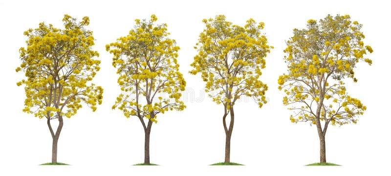 Sammlung von lokalisierten silbernen Trompetenbäumen oder von gelbem Tabebuia auf weißem Hintergrund lizenzfreies stockbild