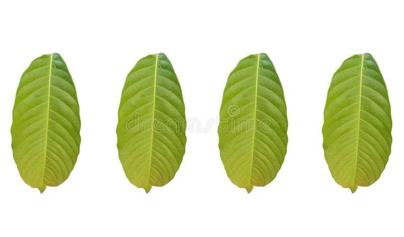 Sammlungen des tropischen Blattes des grünen Laubs lokalisiert auf weißen backgrouds stock abbildung