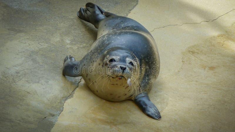 Sammy Seal... royalty free stock photos