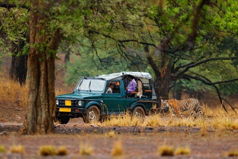 Samochód z dzikim tygrysem Wakacje w Ranthambore NP, India Końcówka pora sucha, początkujący monsun Tygrysi odprowadzenie na żwir obraz stock