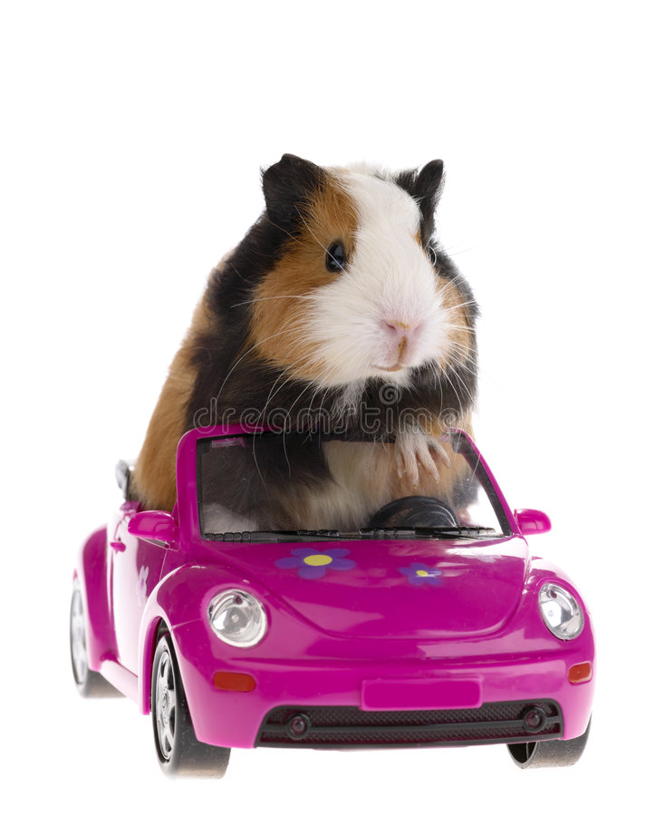 samochodowy królik doświadczalny obsiadanie fotografia stock