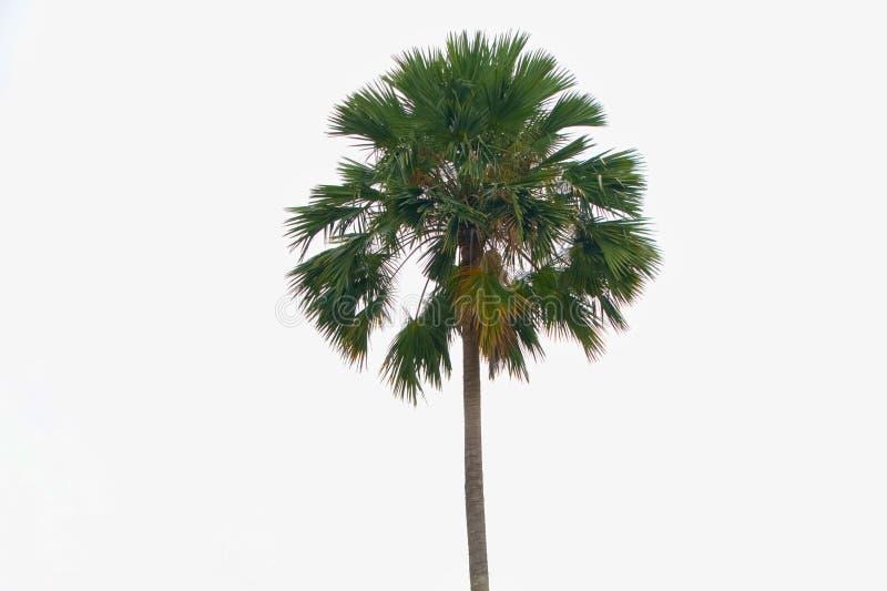 Samodzielna azjatykcia palma, toddy palma, cukrowa palma fotografia royalty free