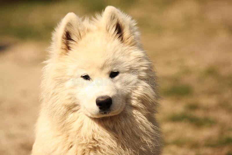 Samojed Dog Portrait stock photography