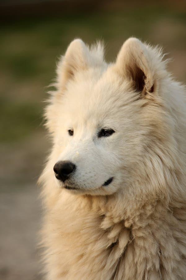 samojed psi portret zdjęcia royalty free