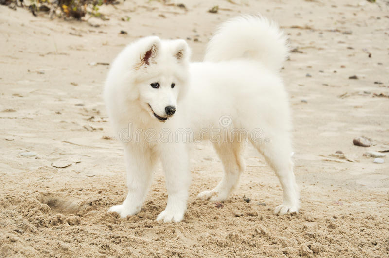 Samojed puppy dog stock photography