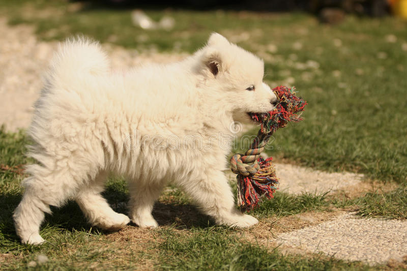 Download Samojed Puppy playing stock photo. Image of baby, flower - 13558050