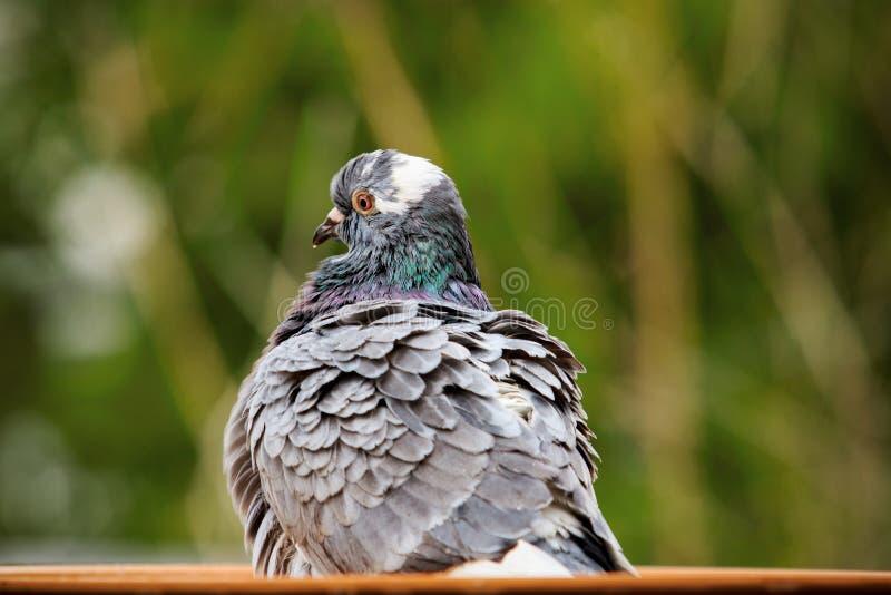 Samokierującego gołębia ptasi kąpanie w wodnym pucharze obrazy royalty free
