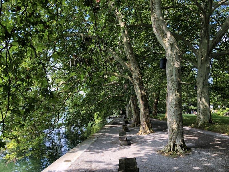 Samolotów lub płaskich drzew aleja blisko jeziornej kwiat wyspy Mainau na fotografia royalty free