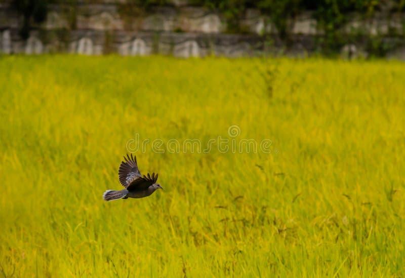 Samotna żółw gołąbka w lot zieleni above polu obraz royalty free