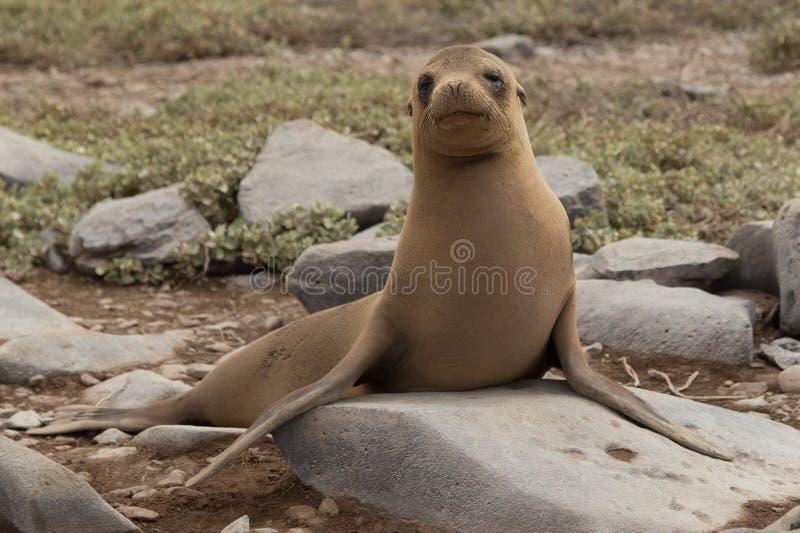 Samotna dennego lwa ciucia, Galapagos obraz royalty free