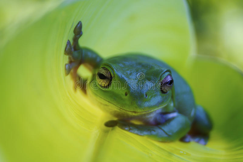Samotna drzewna żaba obraz royalty free