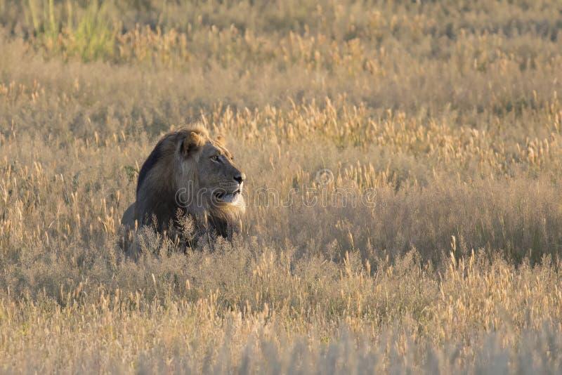 Samotna lew samiec kłaść puszek odpoczywać w Kalahari trawie zdjęcie royalty free