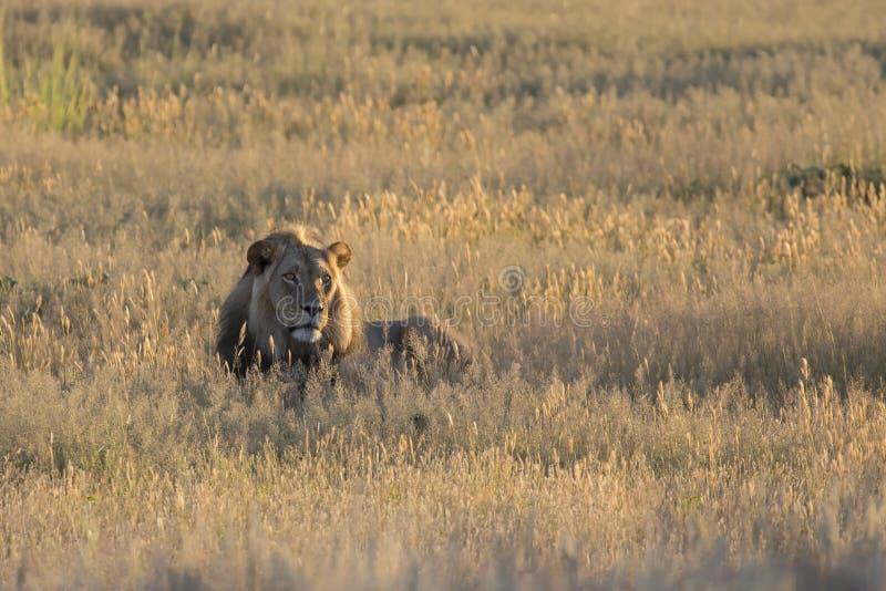 Samotna lew samiec kłaść puszek odpoczywać w Kalahari trawie fotografia royalty free