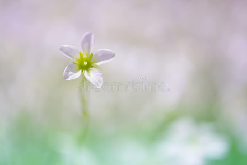 Samotna mała menchia kwitnie na delikatnym tle Kwiat w na wolnym powietrzu Selekcyjna ostrość obrazy royalty free