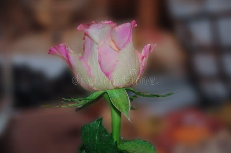 Samotna menchii róża obrazy stock
