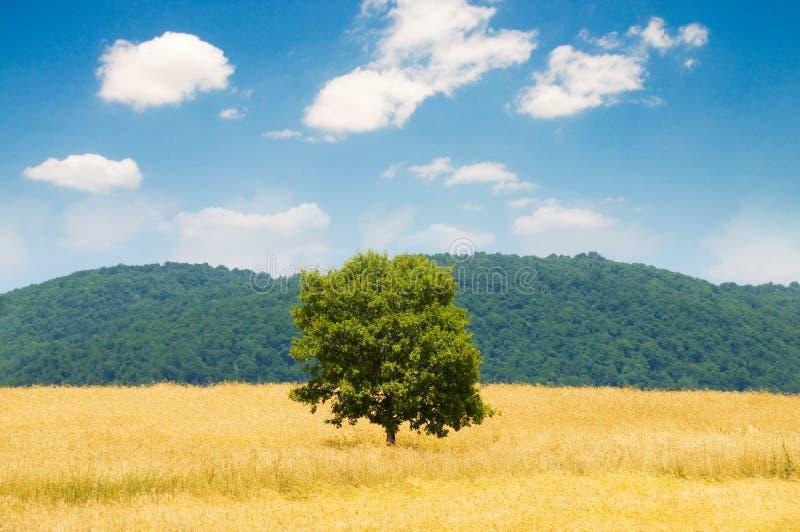 samotna pola pszenicy drzew fotografia royalty free