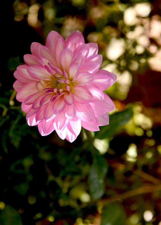 Samotna różowa dalia przy ogródem zdjęcie royalty free