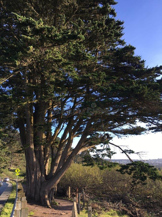 Samotna sosna, Pinus i ścieżka, zginamy dla drzewa, 2 zdjęcie royalty free